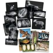 Roylco Animal X-Rays Set (R5910)